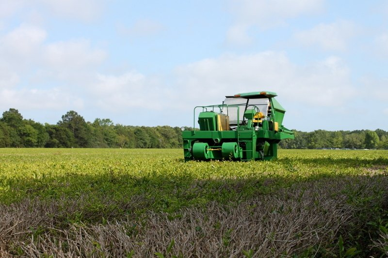 Coisas para fazer em Charleston - Charleston Tea Plantation