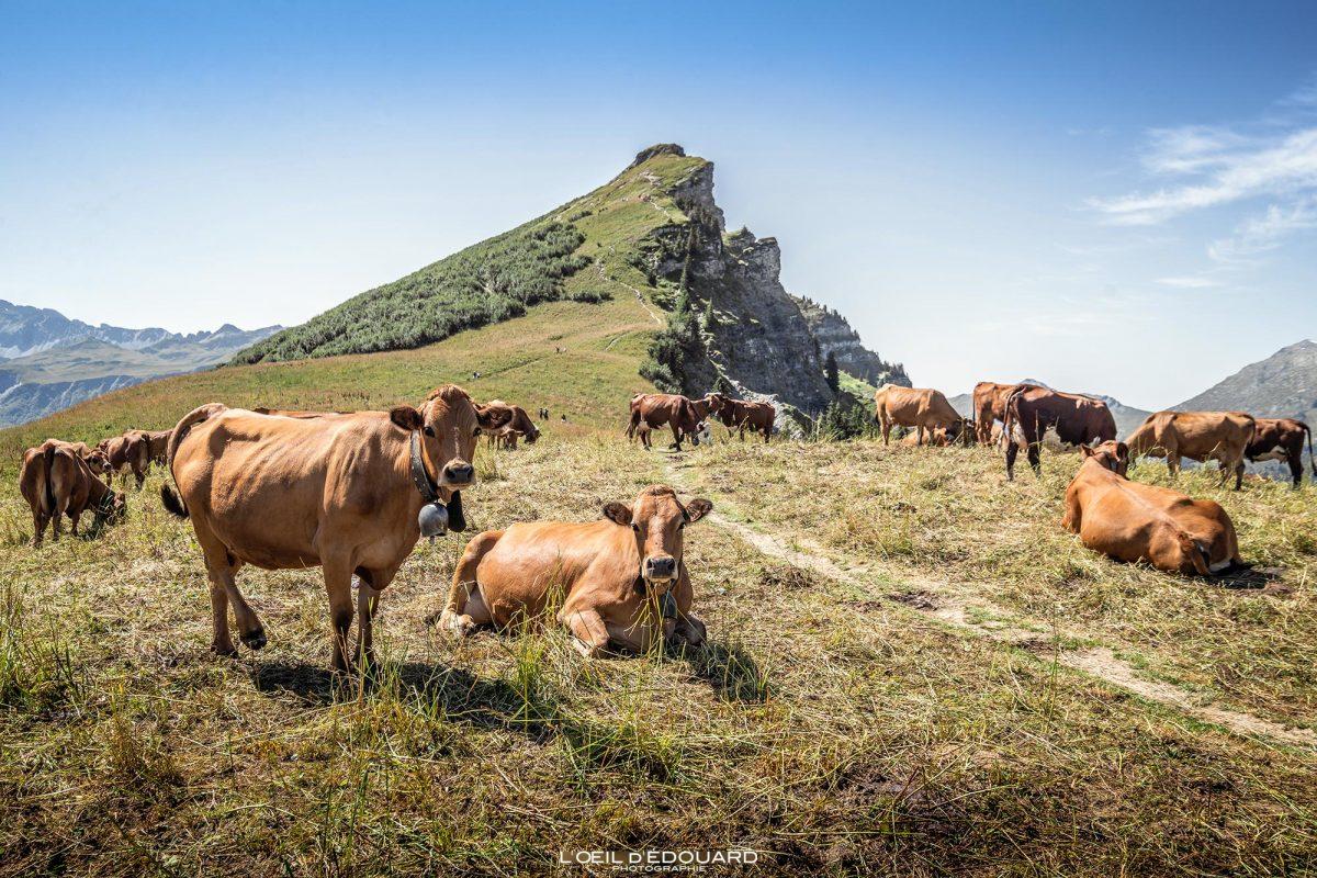 Cows Tarines Beaufortain Alpage Caminhada Roche Parstire Alpes de Savoie França Paisagem Montanha - Paisagem da montanha das vacas Alpes franceses Caminhada ao ar livre Caminhada