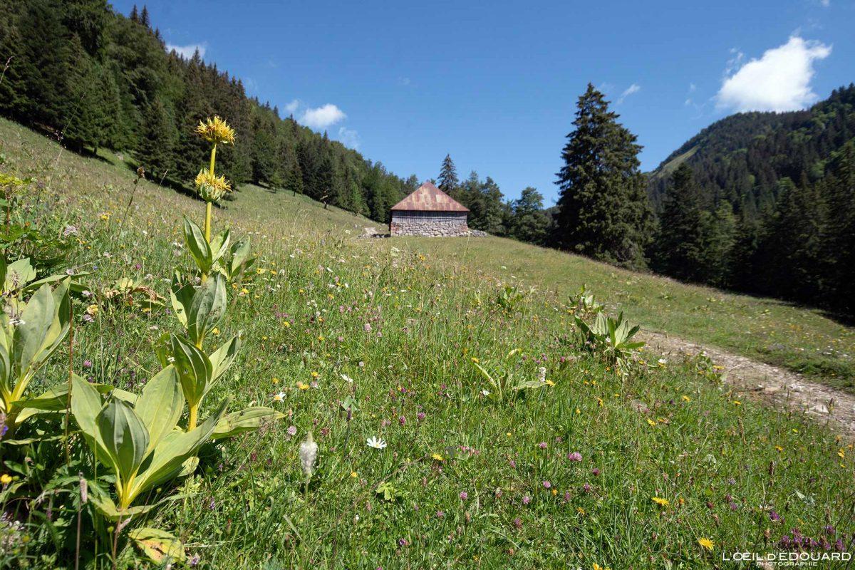 Grande Gentiane Jaune e Chalet d'Alpage - Caminhada Maciço Col d'Orgeval des Bauges Alpes Savoie França Paisagem Montanha - Paisagem da montanha de flores Alpes franceses Caminhadas ao ar livre