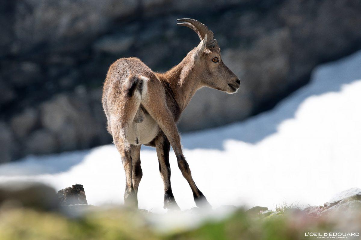 Alpes Franceses Caminhada Ibex Lac du Petit Domènon Belledonne Isère Alpes franceses Animais selvagens Montanha Natureza Capricórnio