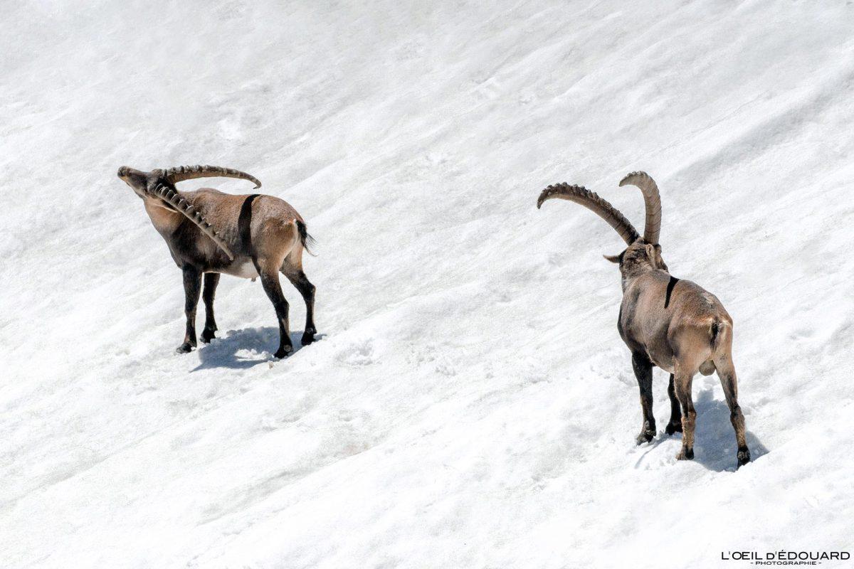 Ãbex no pico de neve Grande Lance de Domène Belledonne Isère Alpes França Fauna Montanha ao ar livre Alpes franceses Ãbex da montanha de neve