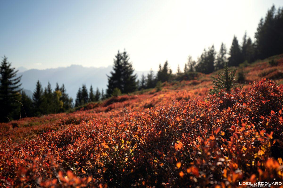 Alpes franceses Mirtilo Folhas Mirtilo No Outono Le Grand Arc Savoie Alps França Montanha Natureza Outono Paisagem Natureza
