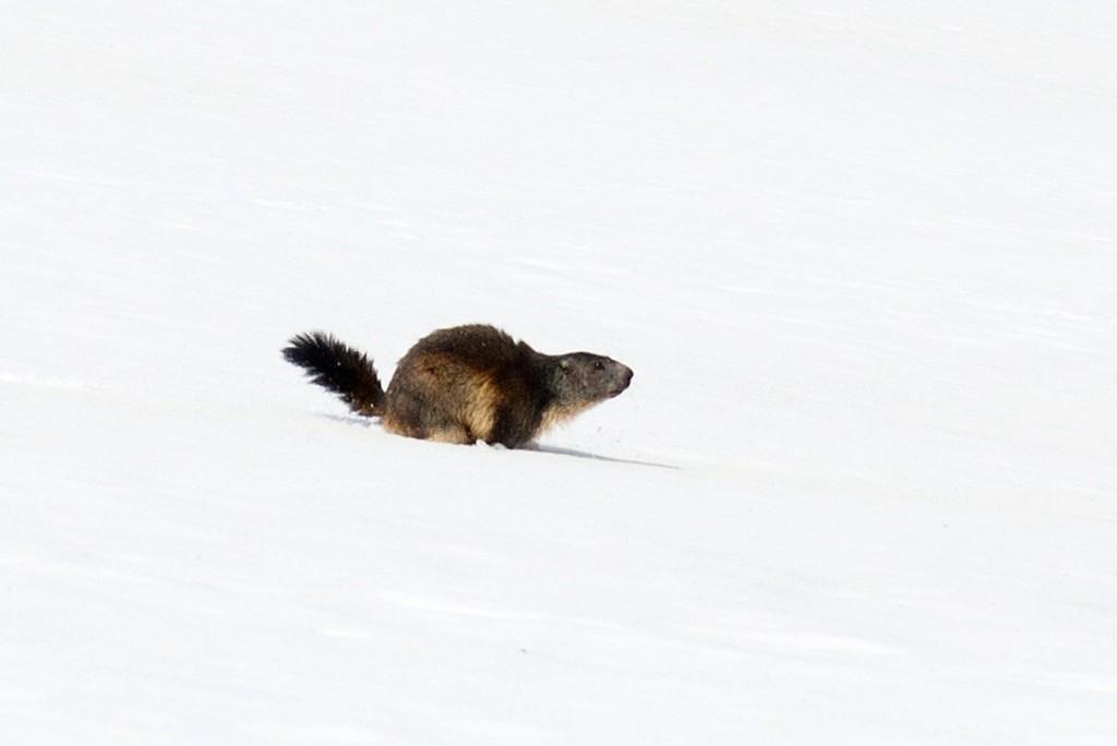 Marmota com fome após o inverno (Parque Nacional de Vanoise)
