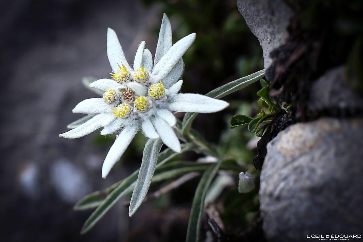 Edelweiss Arcalod macif des Bauges Alpes Savoie França Fleur Mountains - Alpes franceses flor da montanha ao ar livre