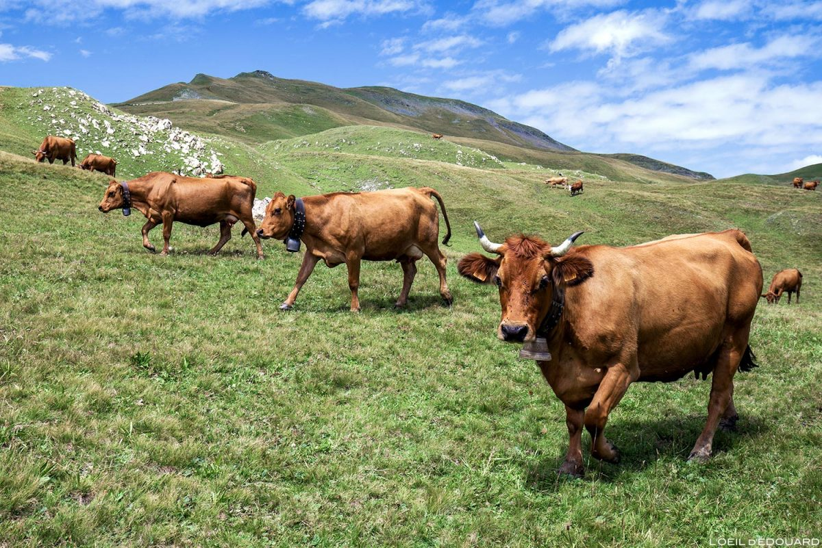Vacas Tarines nas pastagens do Col des Tufs Blancs, a paisagem montanhosa dos Alpes Savoy em Beaufortain