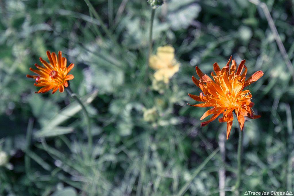 Crépide Orange (flor da montanha) - Queyras, Hautes-Alpes