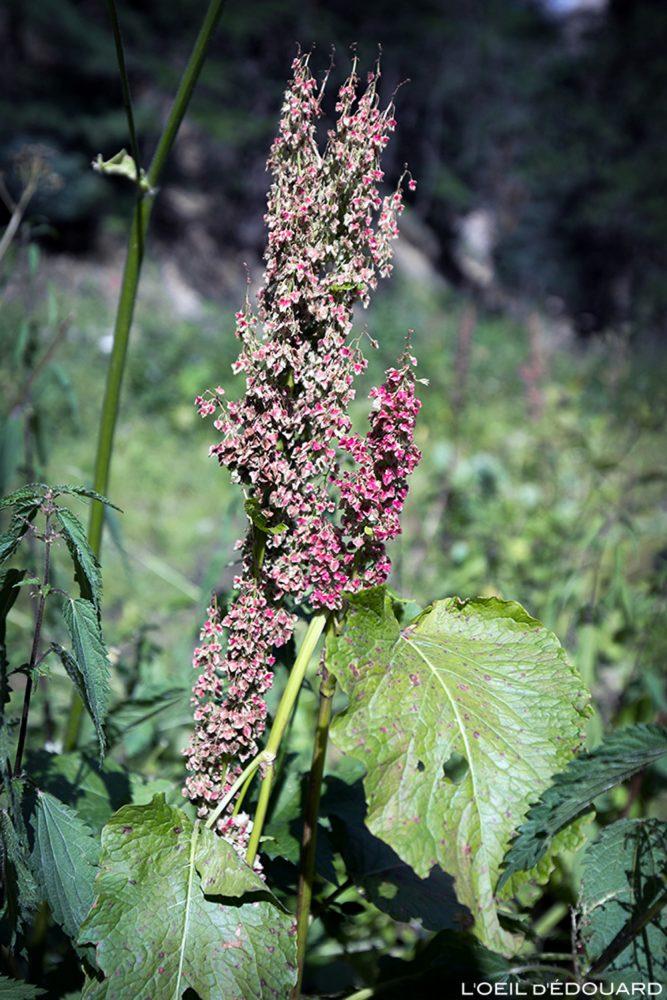 Flores da montanha: Rumex (Big Sorrel dos Alpes) / flores da montanha