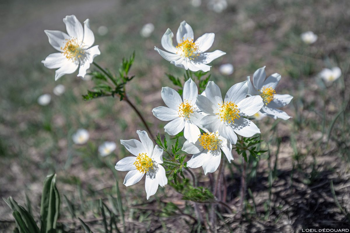 Flores da montanha: Pulsatilla branca (Pulsatilla alba) Maciço de Vanoise, Alpes da montanha Flores da montanha