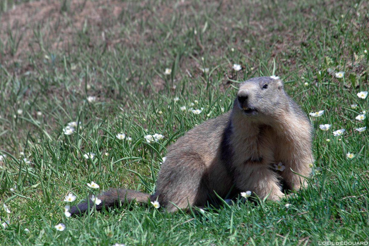 Animal da montanha: marmota, maciço de Vanoise, animal da montanha alpina