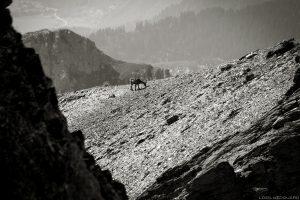 Fêmea de íbex abaixo do topo da ponta do terraço, paisagem dos Alpes Le Beaufortain Savoie