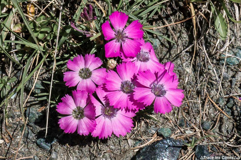 Cravos da geleira, flor da montanha em Queyras (Hautes-Alpes)