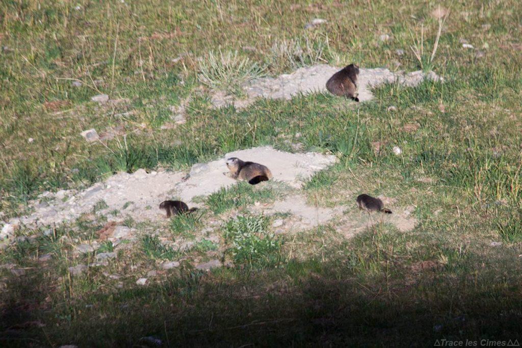 Marmotas ao sol em Saint-Véran, Queyras (Hautes-Alpes)