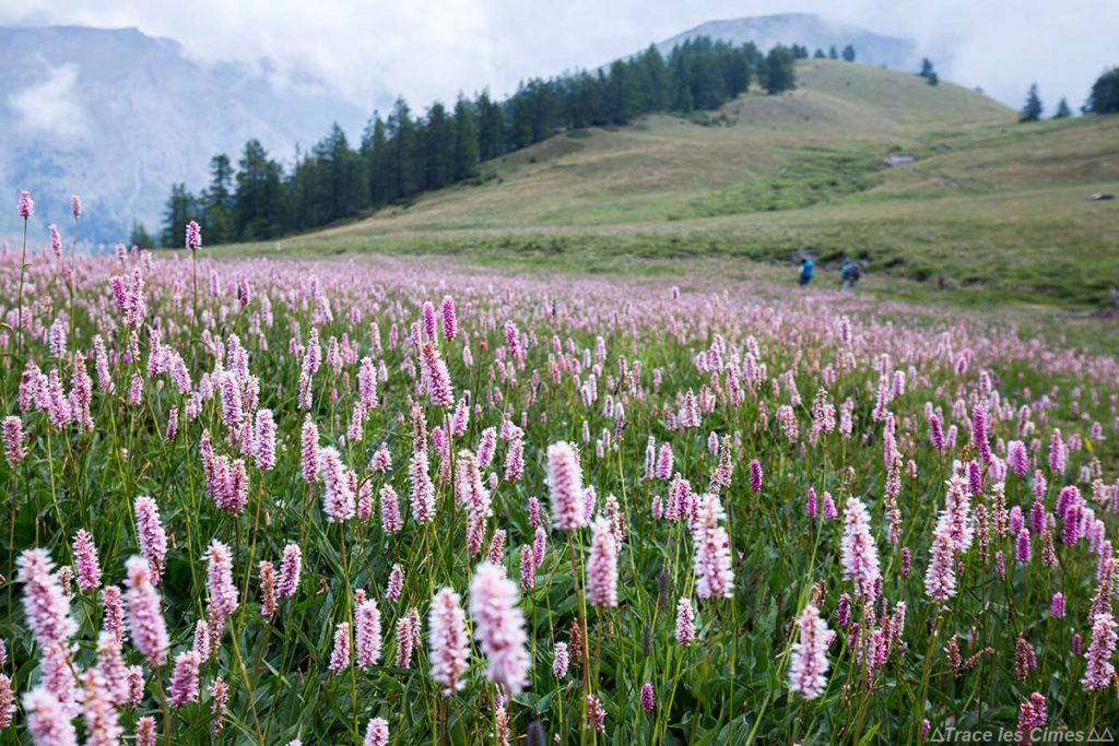 Prairie de Renouée Bistorte sob o Collette de Gilly - Queyras, Hautes-Alpes