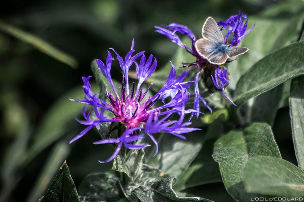 Flor da montanha: centáurea da montanha e borboleta argus - direção Abriès, Queyras, Hautes-Alpes