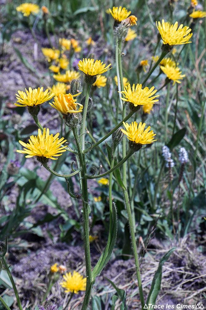 Flor da montanha: lentilha-d'água - direção Abriès, Queyras, Hautes-Alpes