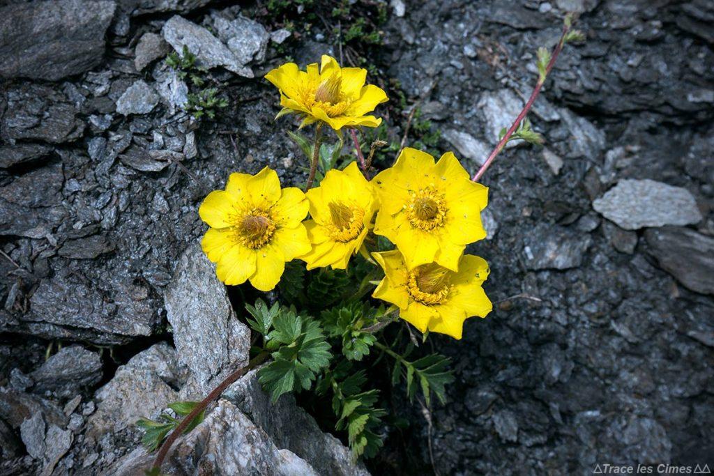 Benoit rampant (flores da montanha) - Tour du Queyras GR 58, Hautes-Alpes