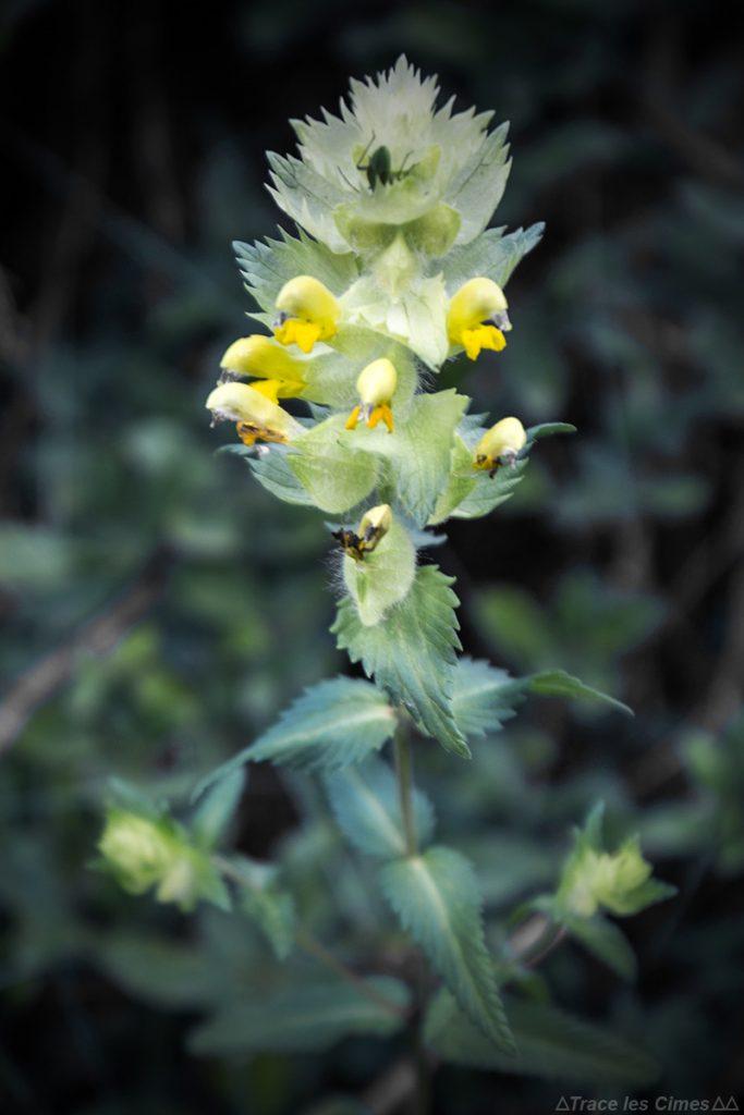 Rhinanthe crête de coq (flor da montanha) - Queyras, Hautes-Alpes