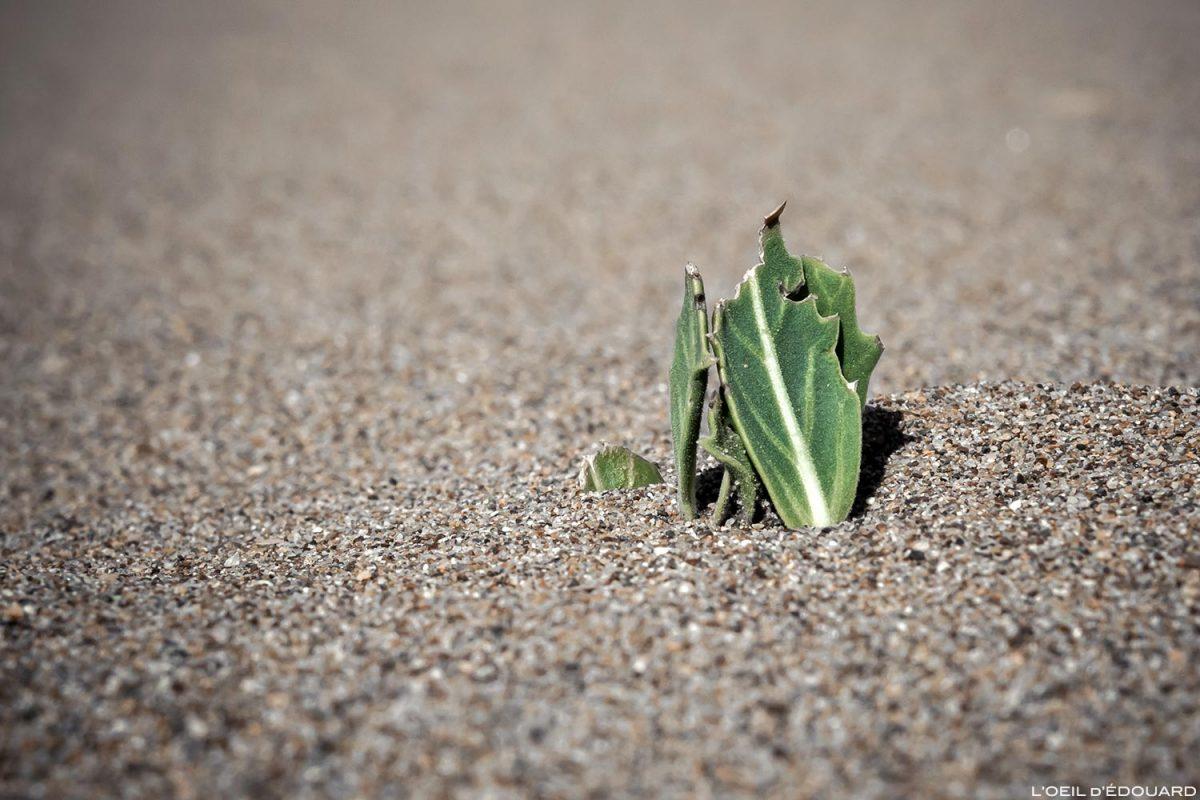 Planta suculenta na areia do deserto marroquino