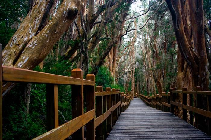 Bariloche é um dos poucos lugares onde o arrrayán, geralmente um arbusto, tem a forma de uma árvore