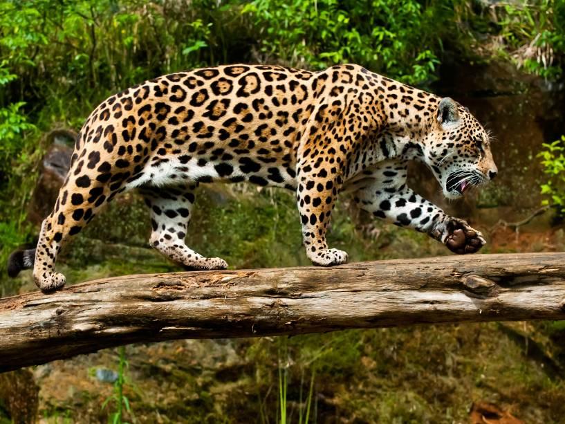Onça-pintada no Gramado Zoo, Gramado (RS)