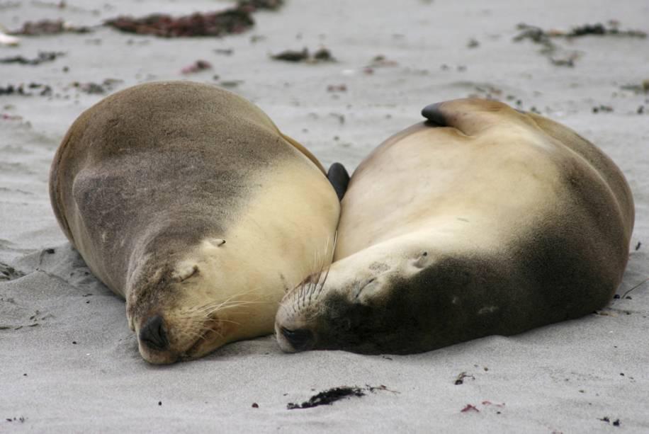 Leões marinhos dormem em uma praia em Adelaide, Austrália