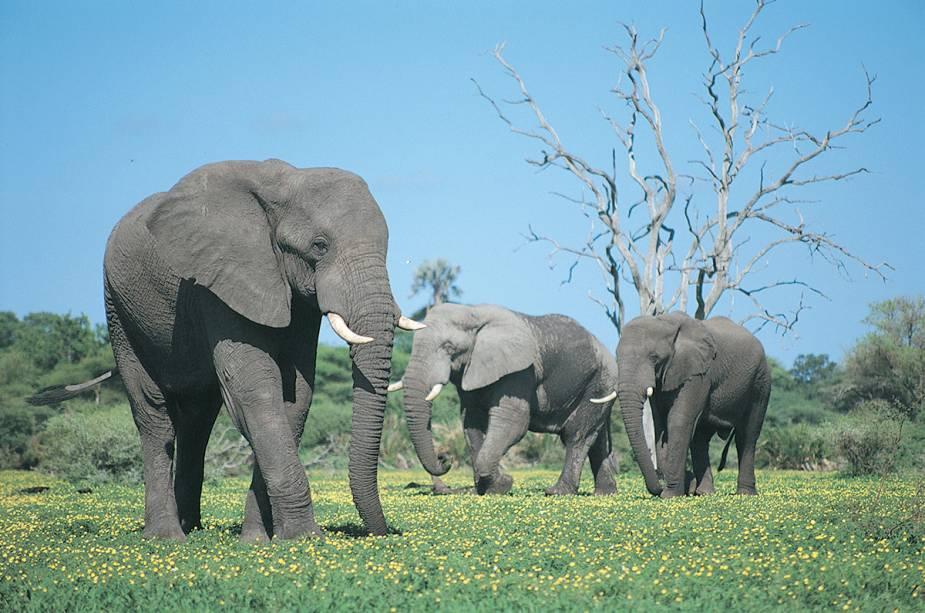 Elefantes em Maun