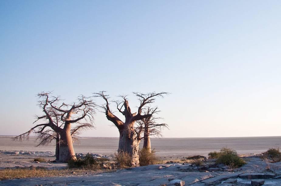 Baobab em Maun
