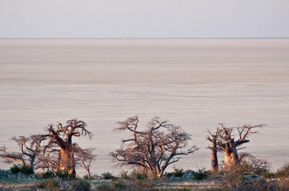 Os baobás de Maun são um símbolo de Bostwana