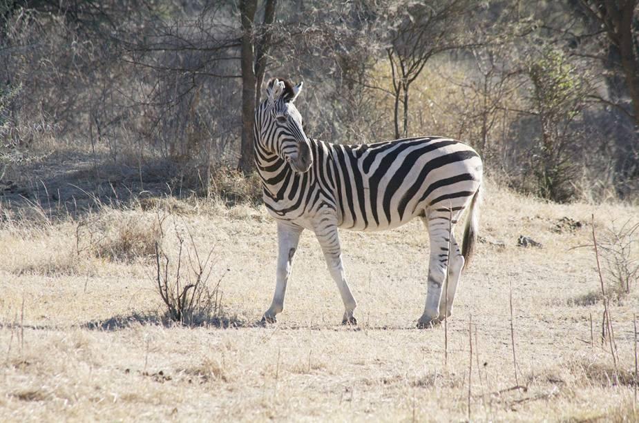 É comum encontrar zebras em safáris