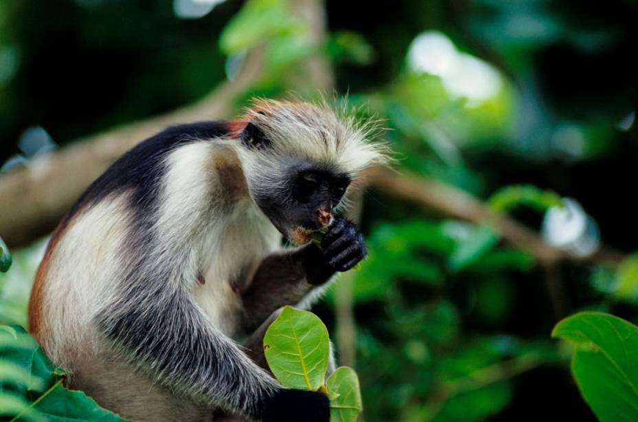 """Macaco de gênero <em>Procolobus badius kirkii</em> em Zanzibar"""" class=""""lazyload"""" data-pin-nopin=""""true""""/></div> <p class="""