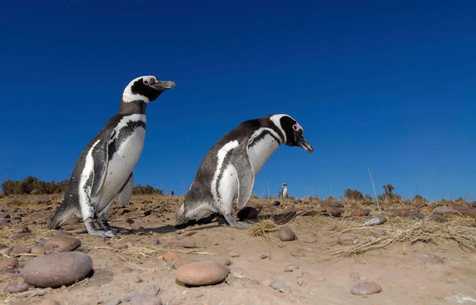 Isla Martillo é o habitat de mais de seis mil pinguins de Magalhães entre outubro e abril.  Você pode observar os animais de perto no catamarã ou durante uma caminhada