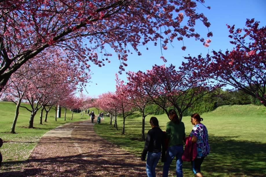 Cerejeiras do Jardim Botânico de Curitiba, o parque mais bonito da cidade