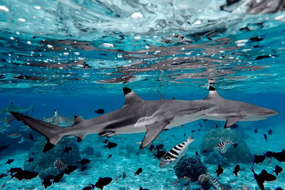 Tubarões são frequentemente vistos durante o mergulho nos atóis da Polinésia Francesa