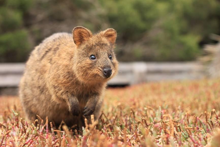 """O quokka ( <em>Setonix brachyurus</em> ) é um pequeno marsupial endêmico da Austrália.  Este espécime foi fotografado na Ilha Rottnest, na costa de Perth"""" class=""""lazyload"""" data-pin-nopin=""""true""""/></div> <p class="""