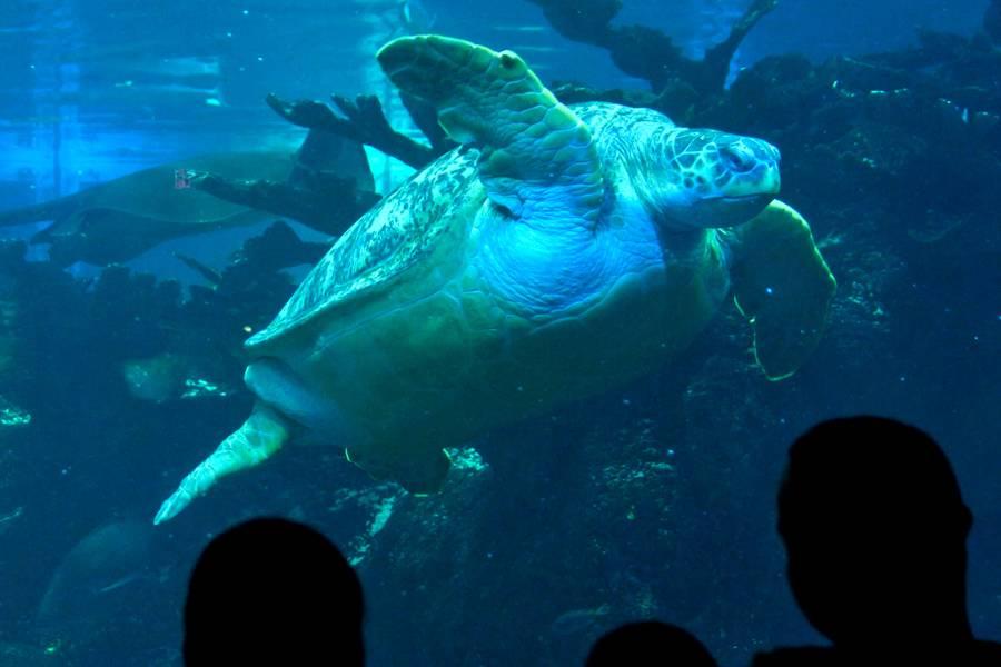 """Os visitantes observam as tartarugas marinhas em""""http://viajeaqui.abril.com.br/estabelecimentos/estados-unidos-boston-atracao-new-england-aquarium"""" rel =""""Aquário da Nova Inglaterra"""" Objetivo =""""_vazio""""><noscript><img data- src="""