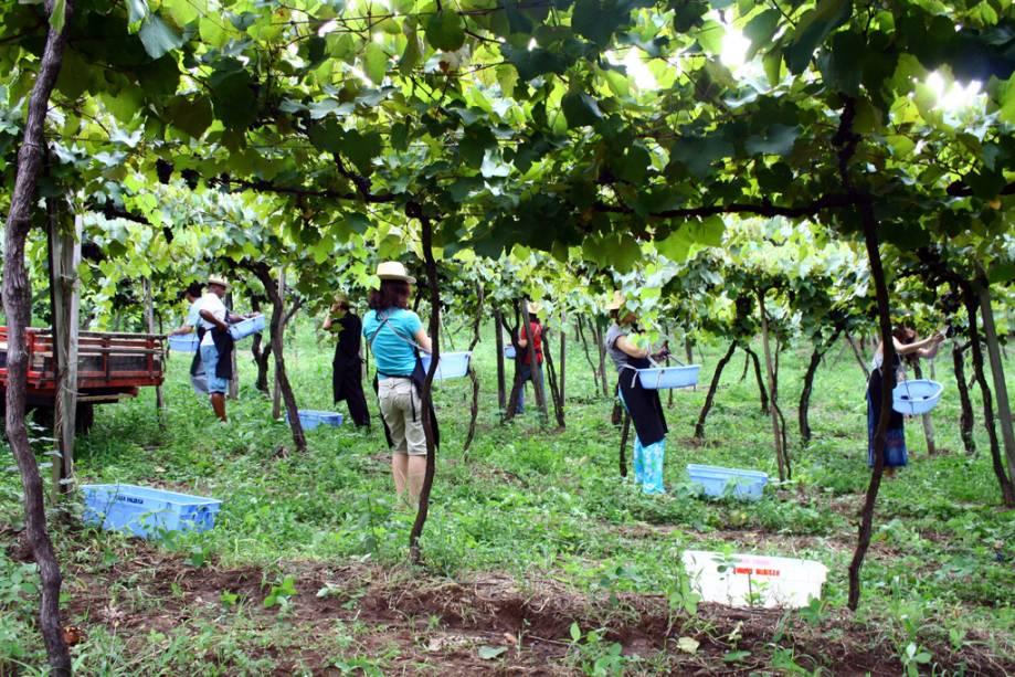 Visitantes participam da vindima na vinícola Luiz Valduga & Filho, no Vale dos Vinhedos em Bento Gonçalves
