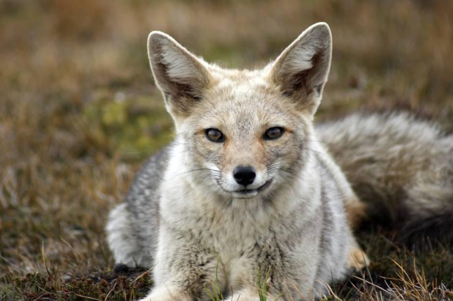 As amigáveis raposas cinzentas, chamadas bries, vivem na região da Patagônia.  Devido ao seu pelo, a caça predatória reduziu o número desses animais