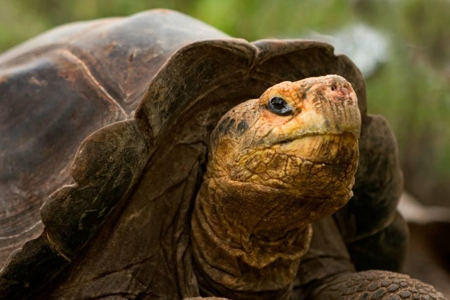 """Tartarugas de Galápagos ( <em>Chelonoidis Nigra</em> ) são os vertebrados mais vivos do planeta.  Embora tenham geralmente 100 anos na natureza, os espécimes capturados vão muito mais longe.  Uma cópia de Charles Darwin morreu em 2006 com a idade de 176″ class=""""lazyload"""" data-pin-nopin=""""true""""/></div> <p class="""