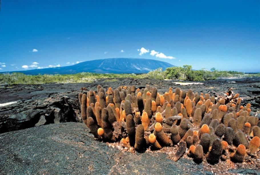 Cactos cultivados no arquipélago de Galápagos