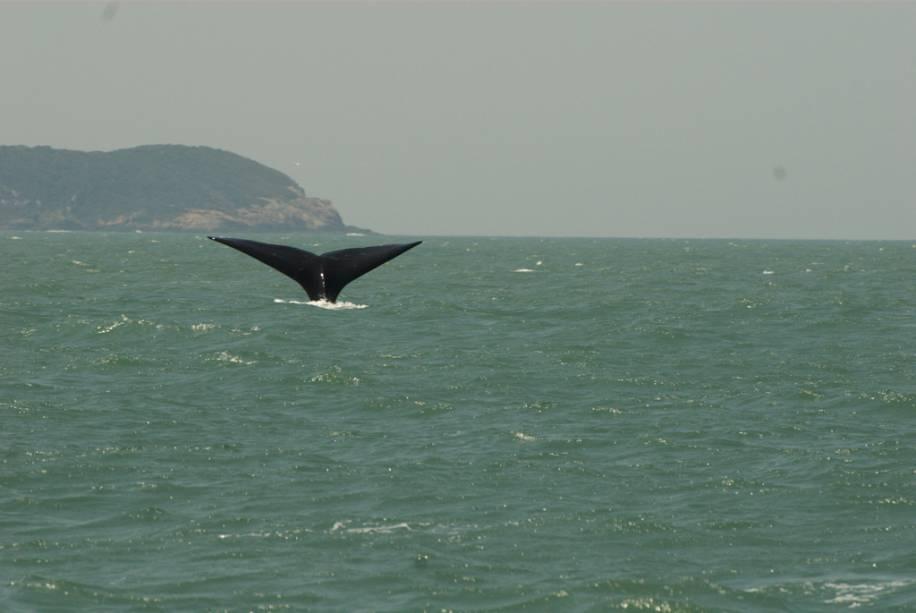 A baleia franca, a segunda espécie de baleia ameaçada de extinção mais comum no planeta