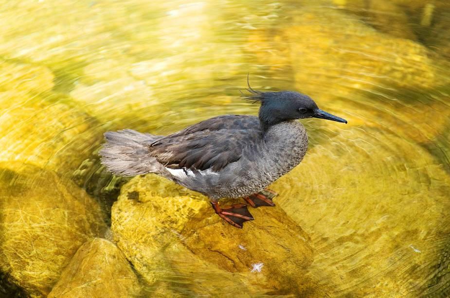 Pato toma banho no parque da Serra da Canastra, em Minas Gerais