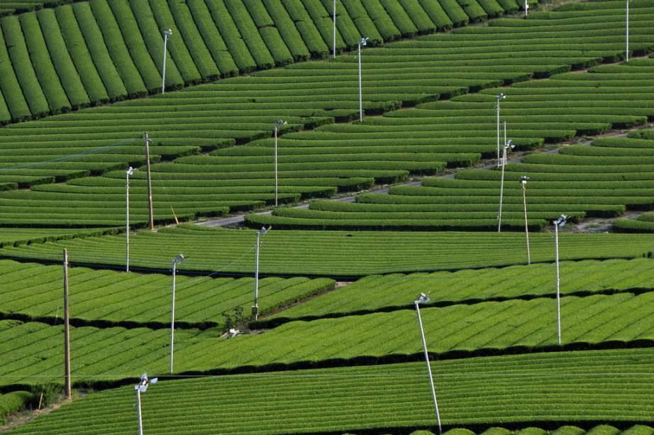 Plantações de chá em Yame, Fukuoka