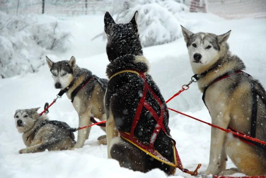 Passeios de trenó puxado por cães estão disponíveis em Chapelco, perto de San Martin de Los Andes