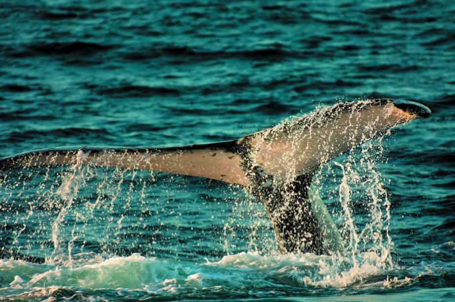 Os passeios para observação de baleias jubarte acontecem de julho a outubro.  Se um não puder ser observado, outra saída está planejada ou parte do dinheiro será devolvido