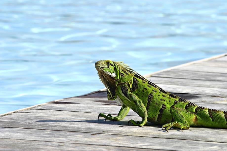 Iguana na piscina do Tivoli EcoResort Praia do Forte.  Nenhuma árvore foi derrubada durante sua construção e todos os quartos têm vista para o mar