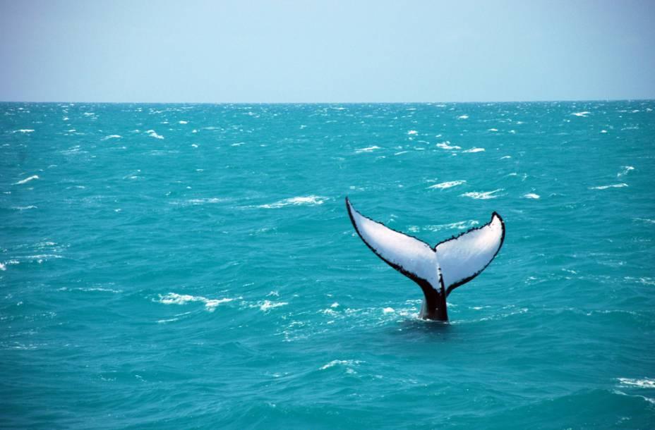 As baleias jubarte podem ser observadas de julho a outubro
