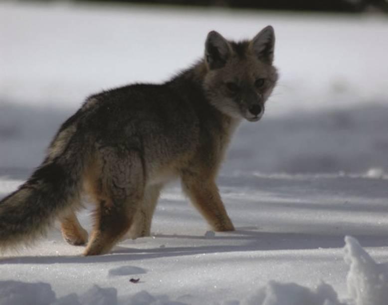 Corralco está localizado em uma reserva natural habitada por abundante vida selvagem, como raposas e pequenas raposas