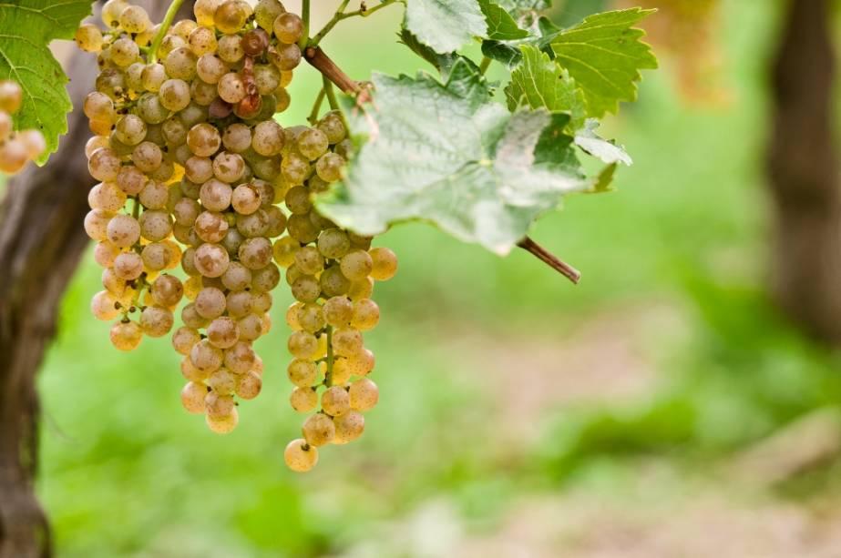 A uva Niagara, quase sinônimo de uva de mesa branca no Brasil, vem da região do Niagara on the Lake