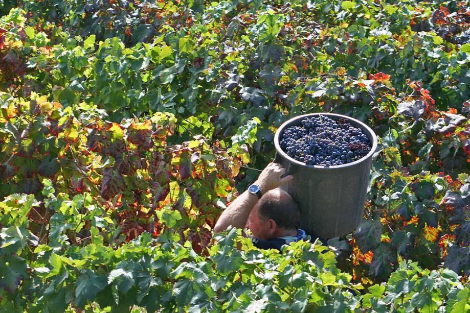 Em setembro começa a festa da colheita na região;  Na foto, um agricultor recolhe a fruta para fazer vinho em Santa Marta de Penaguião, uma aldeia com pouco mais de mil habitantes a norte do Douro