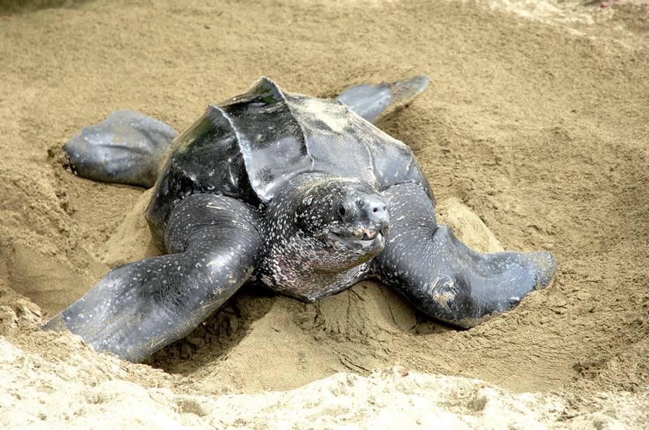 Tartaruga de couro, Tobago